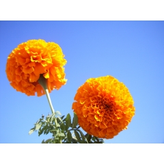 Marigold oleoresin suppliers